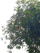 Plum Mango hanging on the tree.